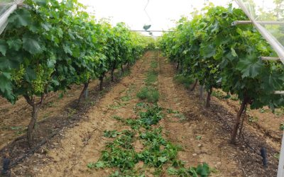 Effective microorganisms applied in vineyard soil.